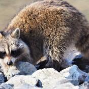 Raton laveur cherche nouriture