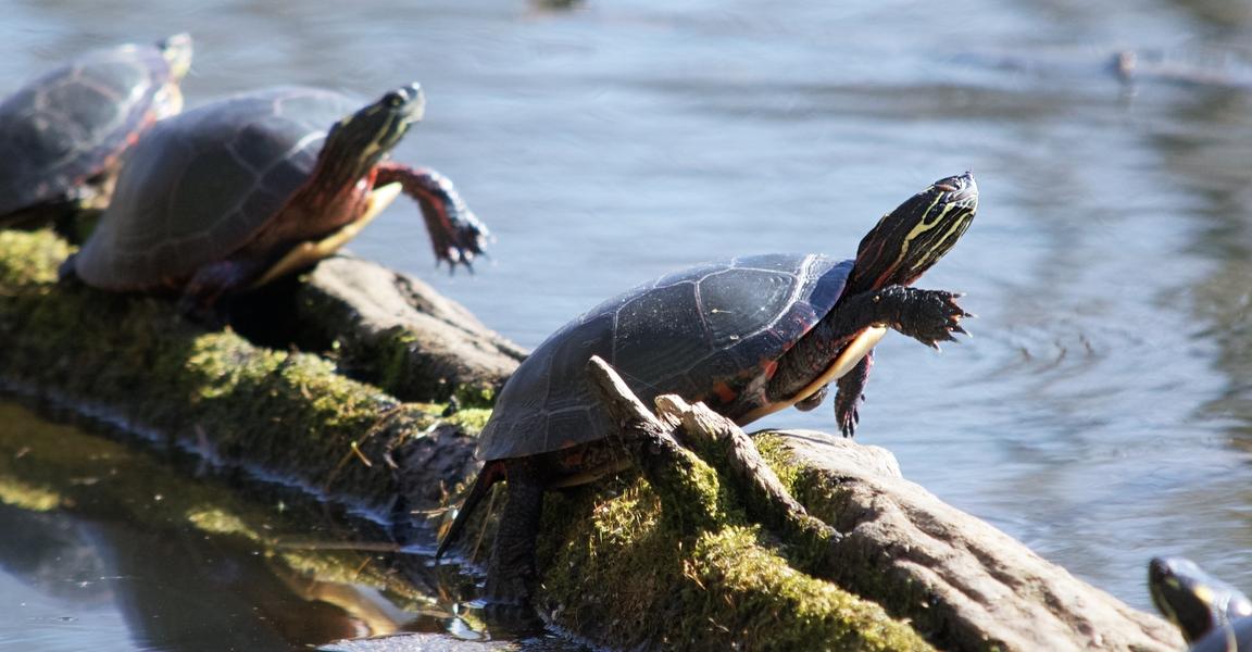 Turtle aerobics?