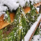 Le pin bordé de neige au Parc des sept chutes