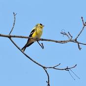 Le chardonneret jaune