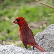 Cardinal et tamia