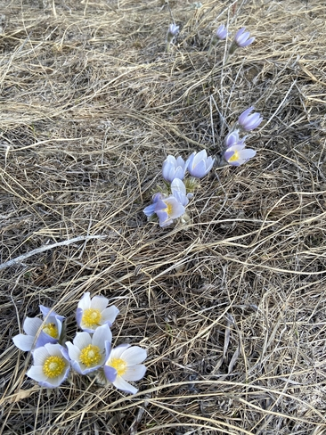 Crocuses! Beaver Creek, Saskatchewan, CA