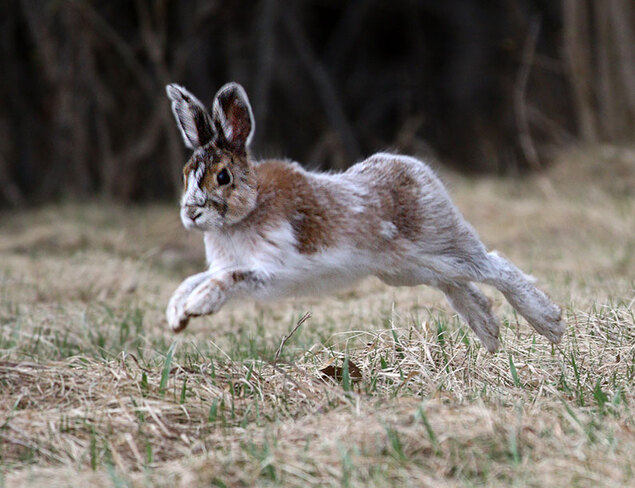Snowshoe hare Ottawa, ON