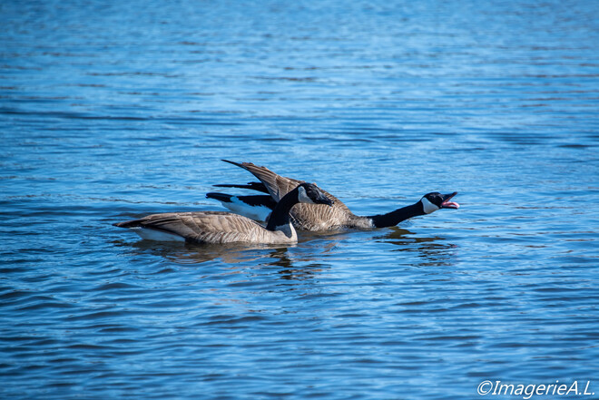 Canada Geese defending territory and walking on water Sudbury, Greater Sudbury, ON