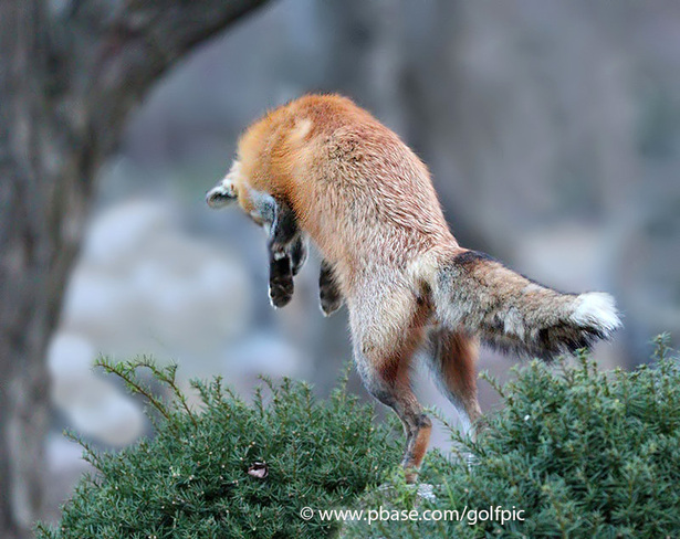 Fox leaps up after prey Ottawa, ON