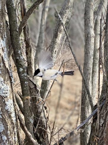 Chickadee in flight Lively, Ontario, CA