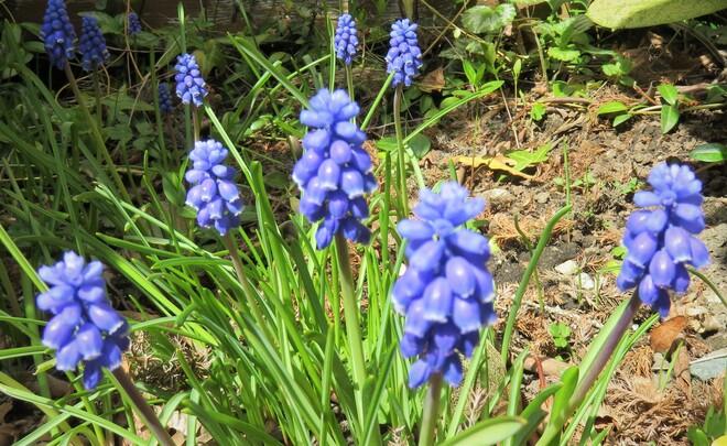 grape hyacinth Vancouver, BC