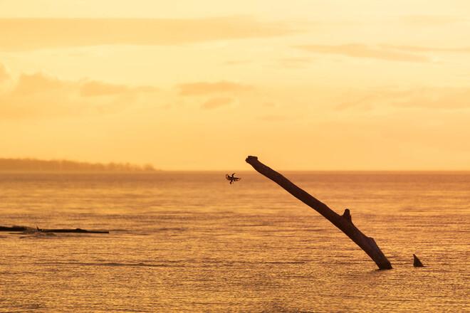 Kingfisher fishing during sunset Port Franks, Lambton Shores, ON
