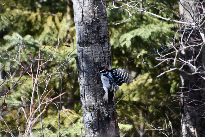 A Downy woodpecker Fort McMurray