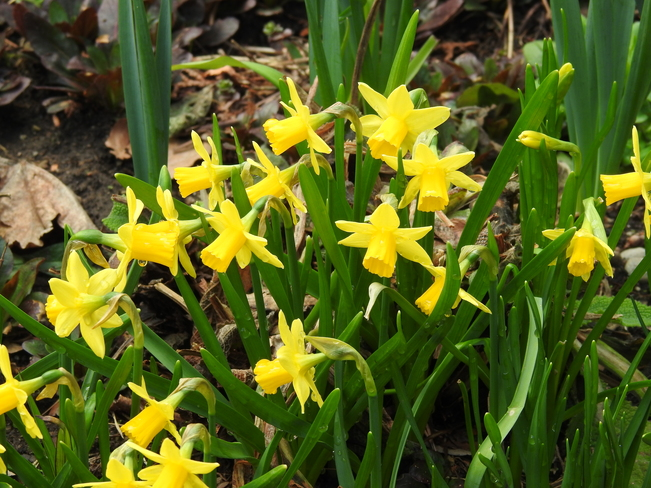 Tete a Tete Miniature Daffodils and Regular size Daffodils NEW DUNDEE