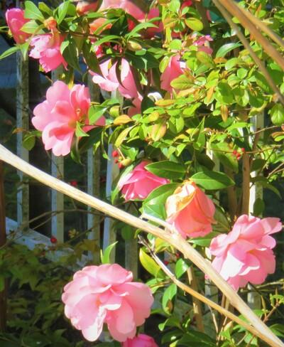 camellia Vancouver, BC