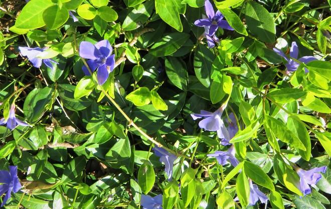 pretty purple little flowers Vancouver, BC