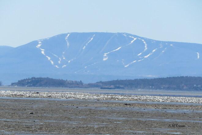 les oies blanches à marée basse du fleuve Saint-Laurent Montmagny, QC