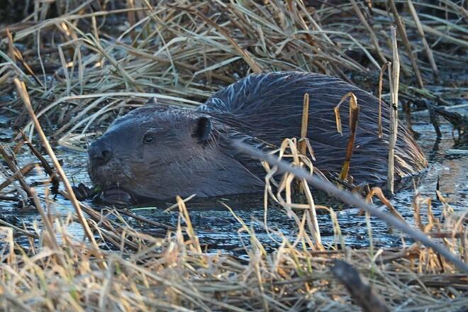 Beavers Edmonton, AB