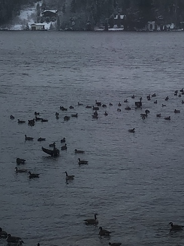Une marée de canards 🦆 Saint-Ambroise, QC