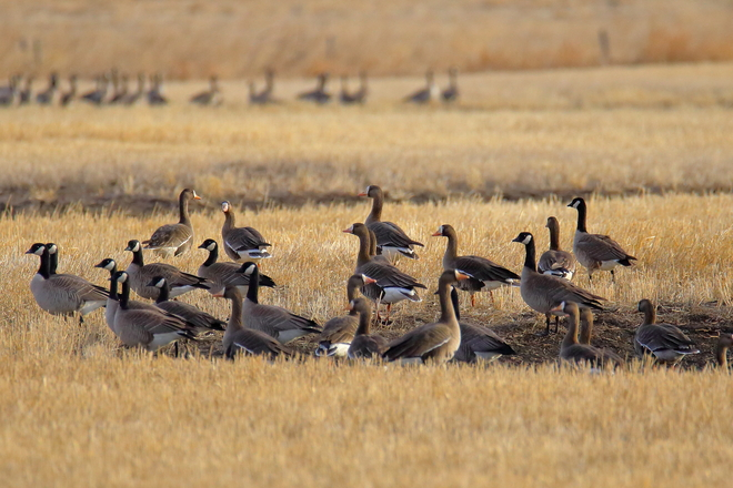 Mixed greater white-fronted geese and Canada geese Township Rd 510, Tofield, AB T0B 4J0, Canada