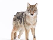 The Coyote Stare