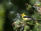 The goldfinch and the Thistle
