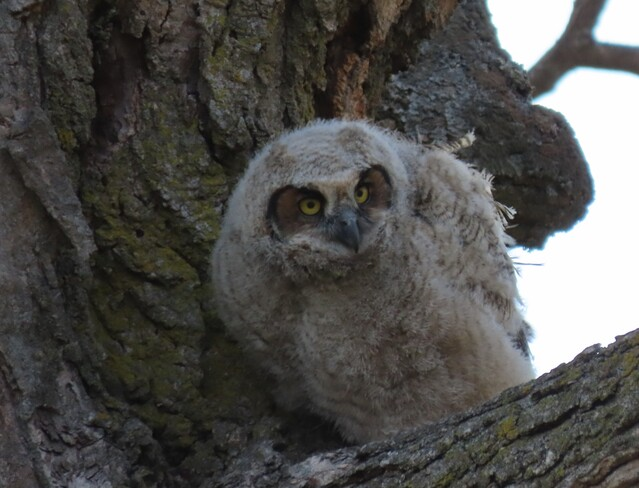 Great Horned Owlet London, ON