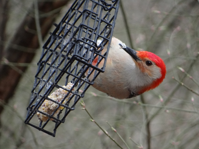 Red-bellied Woodpecker @ High Park High Park, Bloor Street West, Toronto, ON
