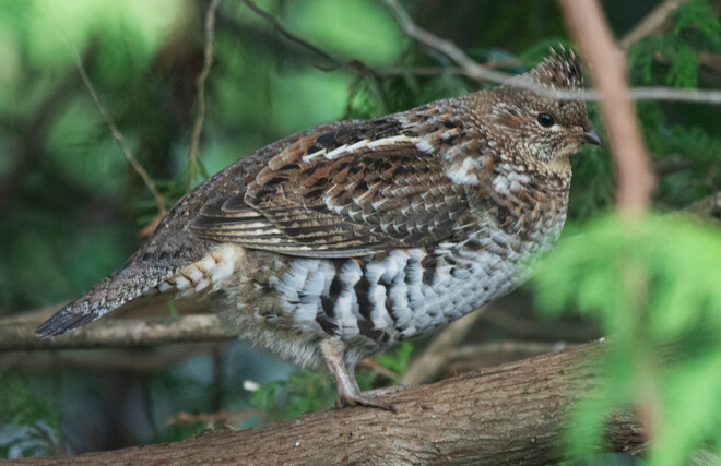 Ruffed Grouse in the Yard 447085 10th Concession, Flesherton, ON
