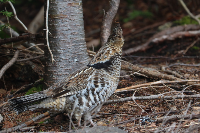 Grouse Clarenville, NL