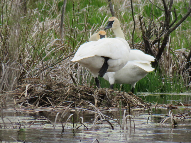trumpeter swans Brant County, ON
