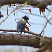 Martin pêcheur au travers des branches