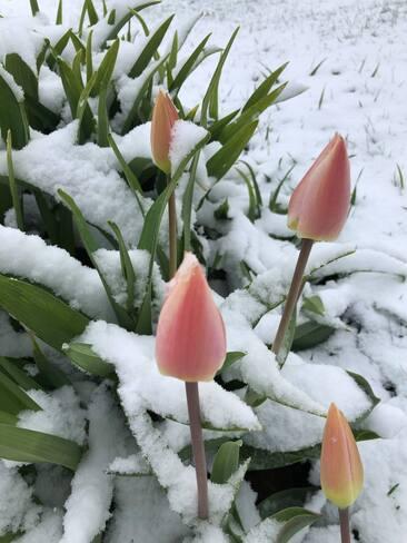 Tulipes sous la neige Aston-Jonction, QC