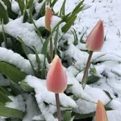 Tulipes sous la neige