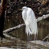 Grande aigrette dans son plumage nuptial!