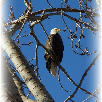 Bald Eagle Port Dover Ontario