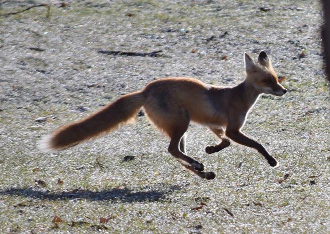 Fox on The Run Kakabeka Falls Provincial Park, ON