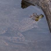 Grosse grenouille
