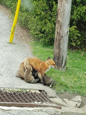 Family of foxes St. George Brant, Ontario, CA