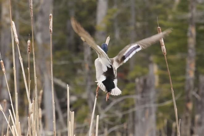 Canards Parc national Forillon, Boul de Forillon, Gaspé, QC
