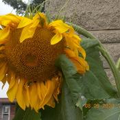 Fleur tournesol dans ma cour