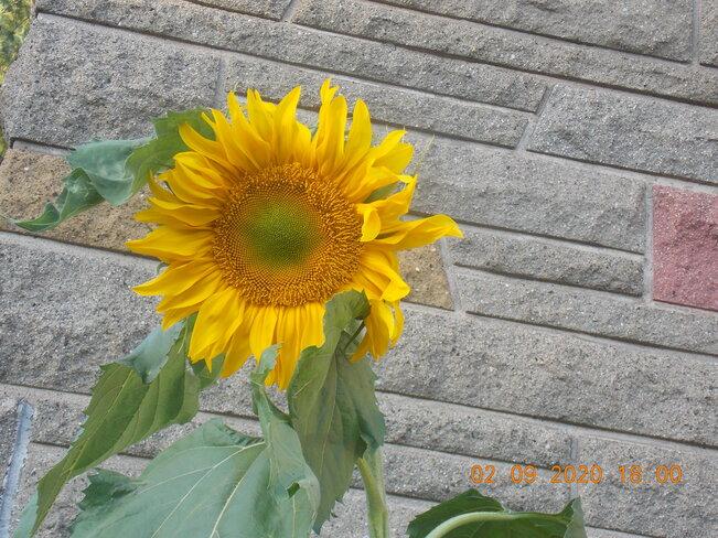 Fleur tournesol dans ma cour Longueuil, QC