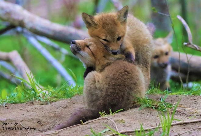 bébé renard qui se calîne Laval, QC
