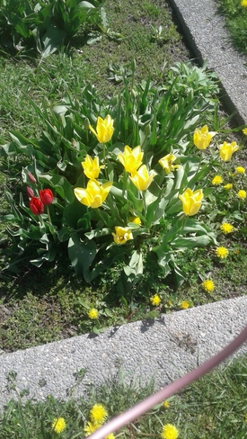 Dandilions & Beautiful Tulips were noticed during my walls today Orangeville, ON