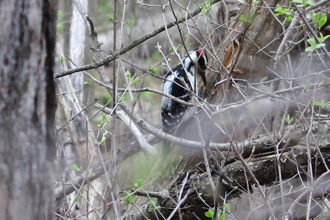 Woodpecker Guelph, Ontario, CA