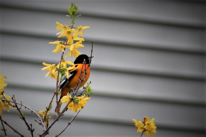 Baltimore Oriole Cabbagetown-South St. James Town, Ontario, CA