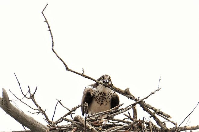 Osprey Petawawa, ON