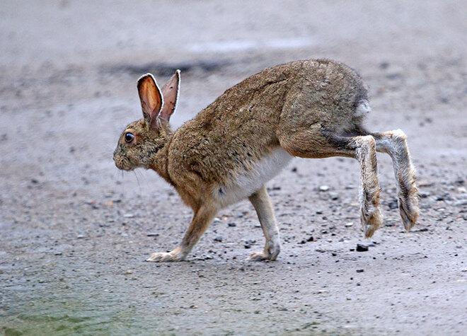 Snowshoe Hare Ottawa, ON