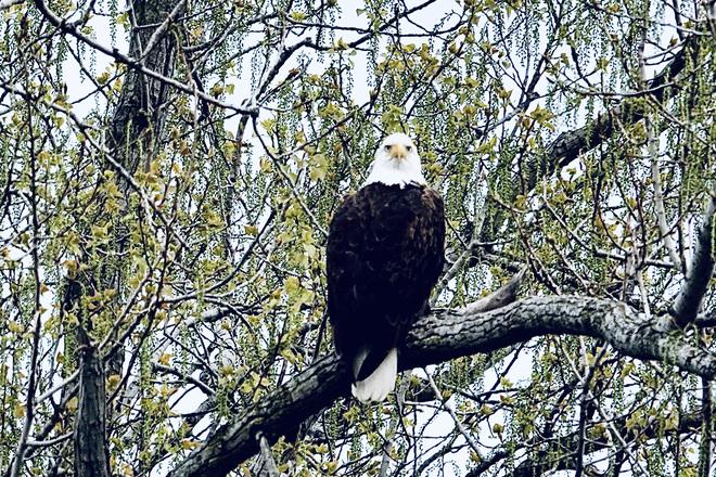 Bald Eagles Delaware, ON