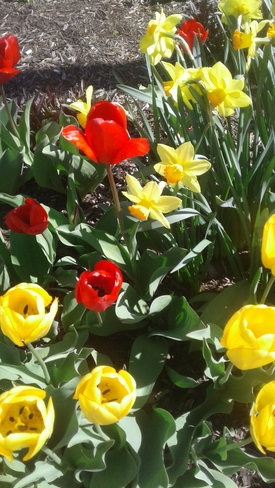 Spotted a whole bunch of very stunning different coloured tulips Orangeville, ON