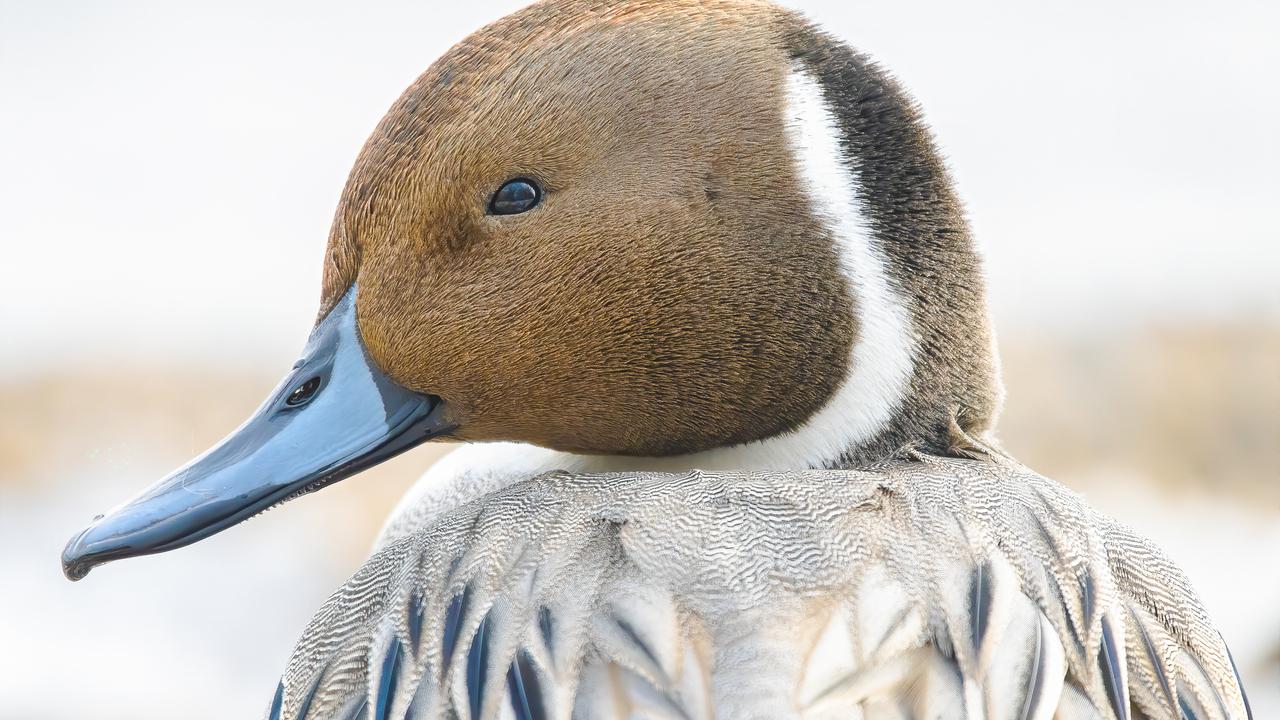 Northern Pintail Staredown