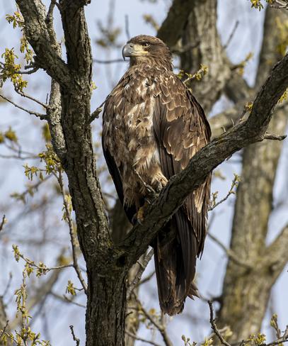 immature eagle Hamilton, ON