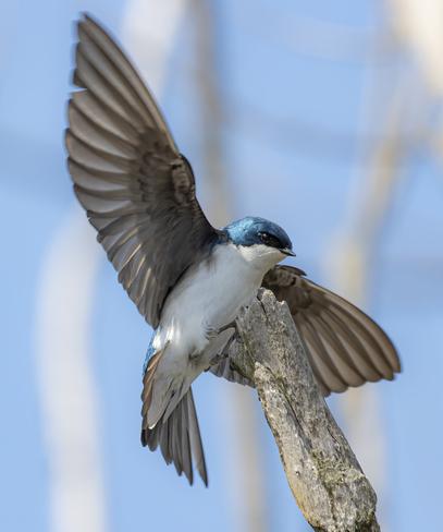 swallow Hamilton, ON