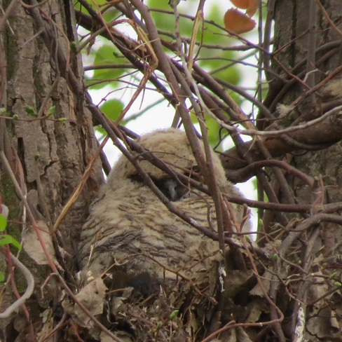 Great Horned Owl Chatham-Kent, ON